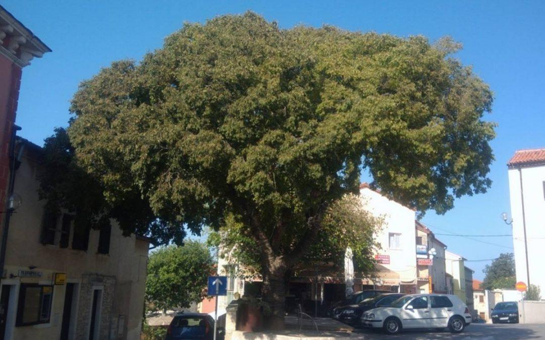 Stablo Najstarija Medulinka bori se za titulu Europskog stabla godine